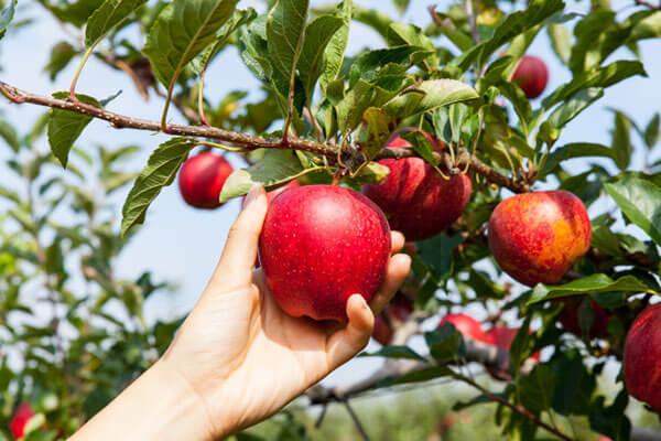Apple Fruit Tree