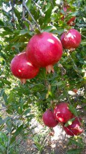 iran Pomegranate export