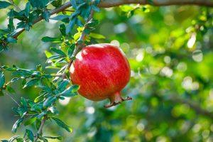 Pomegranate Cultivars