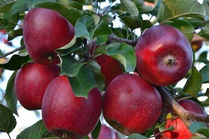 Iran apple export in 2021-2022